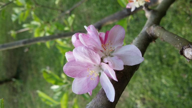 Apple blossom to illustrate hope in cli-fi Image by Ruby and the Blue Sky author Katherine Dewar